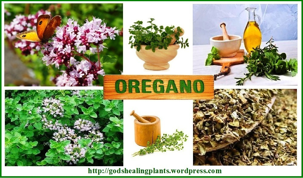 Oregano healing benefits of spices god 39 s healing plants - Advantages of cactus plant ...