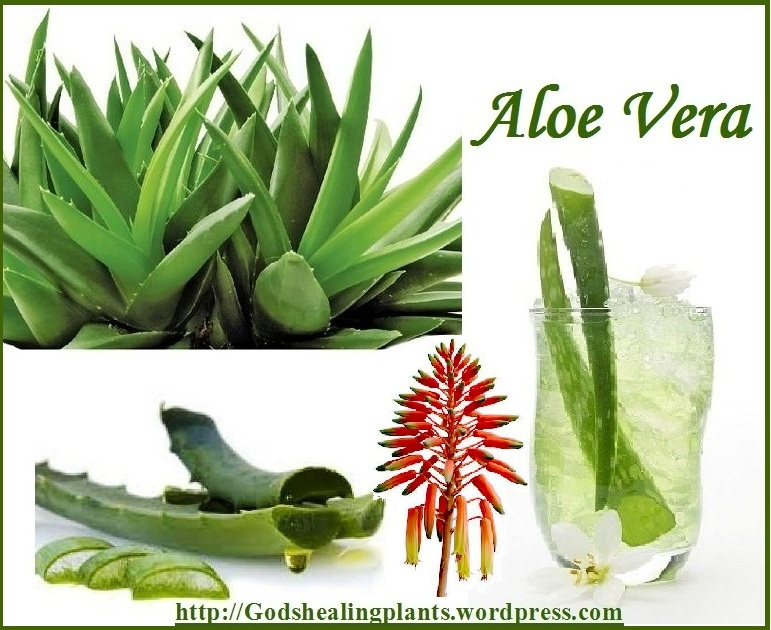 Aloe Vera Benefits  God39;s Healing Plants