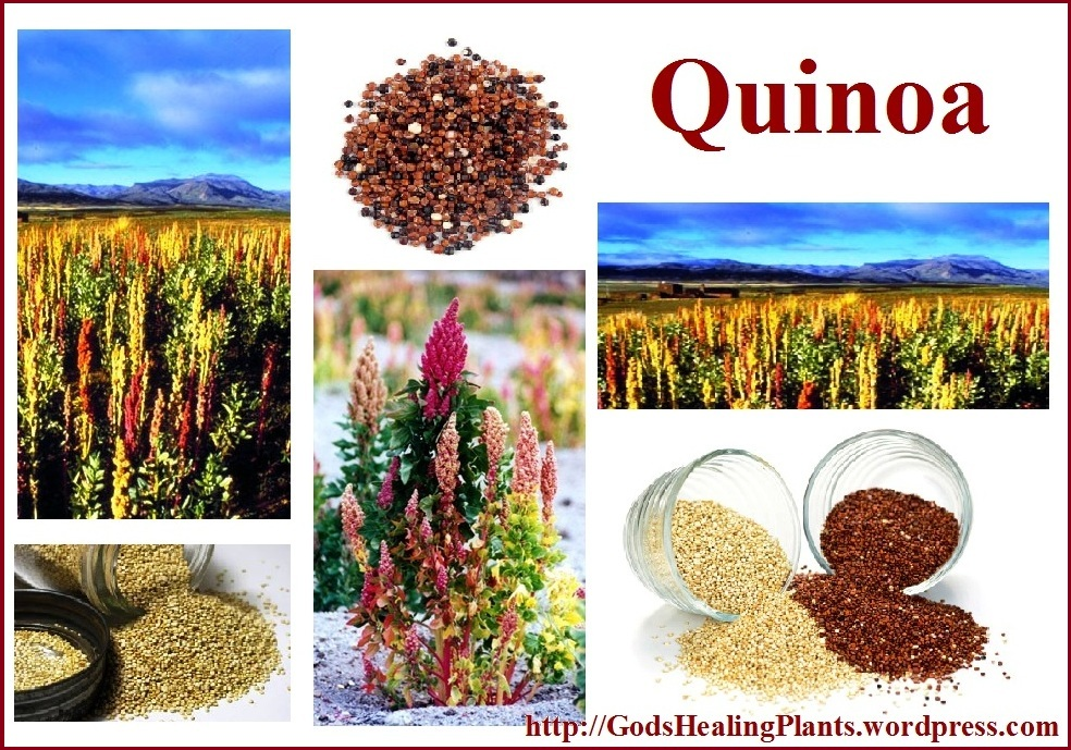 Quinoa the perfect protein source for vegetarians and vegans