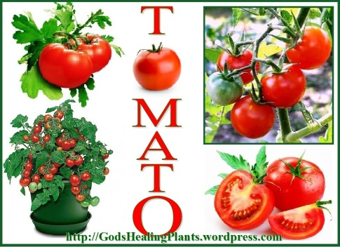 TOMATOES GHP