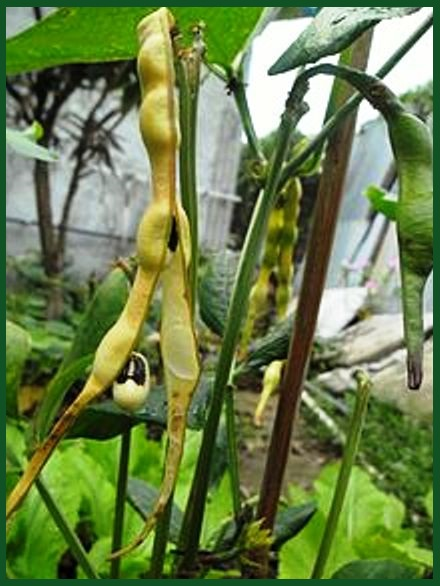 Beans Plant Family Family of Beans Peas