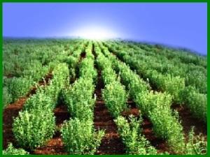 stevia-field