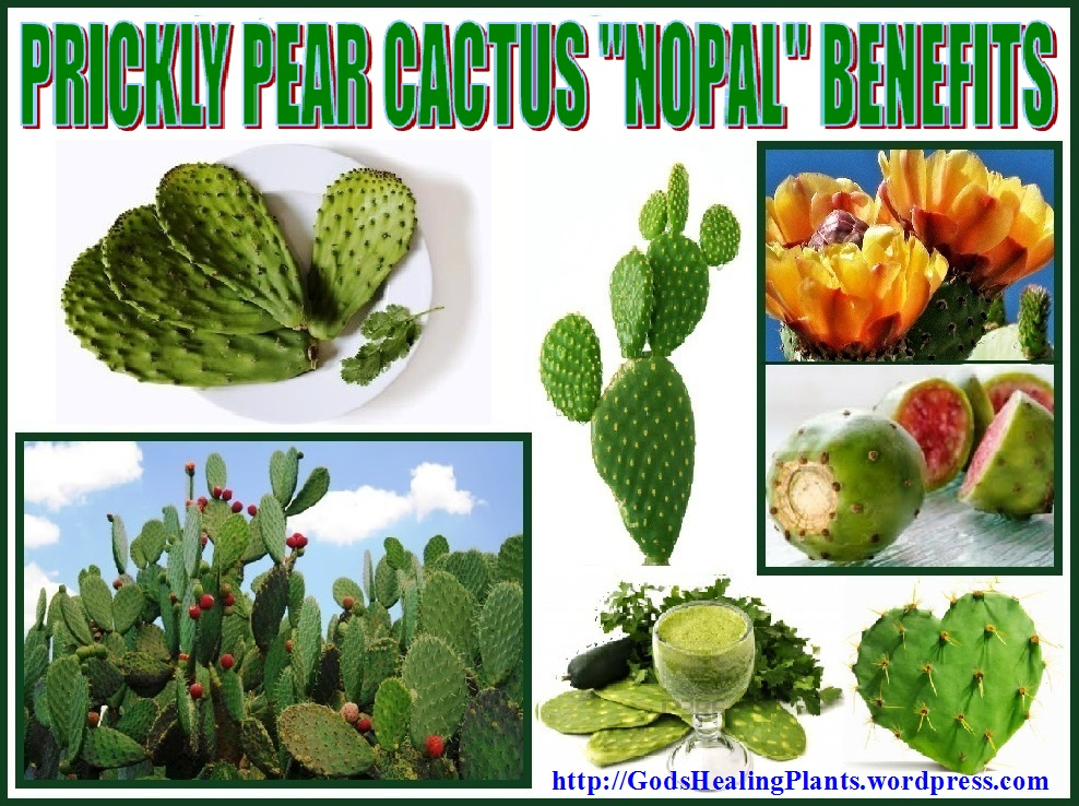 Prickly pear cactus nopal benefits god 39 s healing plants - Advantages of cactus plant ...