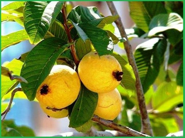 Guava health benefits gods healing plants guava tree ccuart Gallery