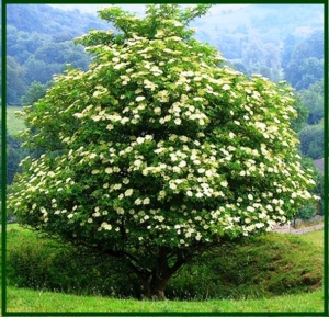 elder-tree-black