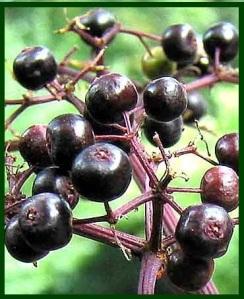 Elderberries_Photo_2