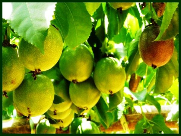 MARACUYÁ Y SUS BENEFICIOS  Las Plantas Curativas de Dios