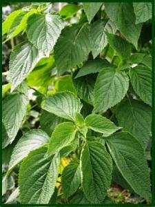 A planta da Chia