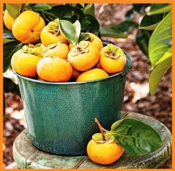 how-to-grow-persimmons-ws