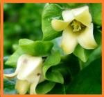 persimmon_flowers