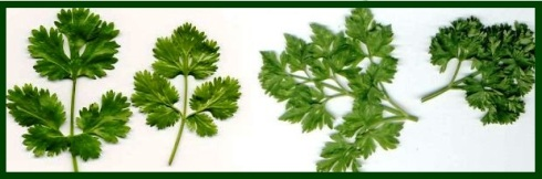 parsley types