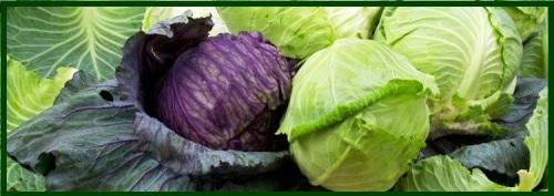 cabbage banner