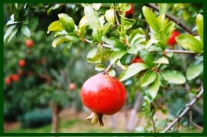 pomegranate tree ws