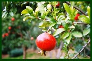 pomegranate tree ws