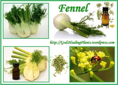 Fennel CLWS1