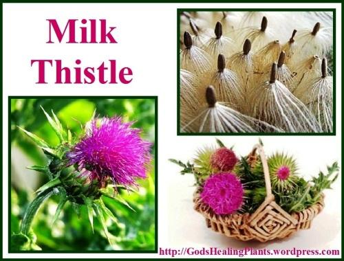 Milk Thistle GsHP
