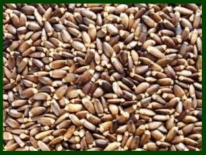 Milk thistle seeds 1