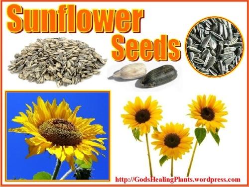 Sunflower CL WS