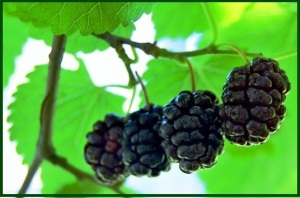 Mulberries ripening