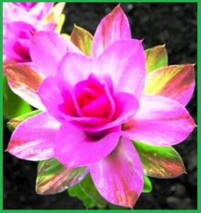 2 turmeric flower 3a