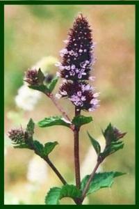 8 Pep flower