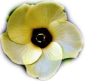 flower-real-okra