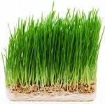 wheatgrass%20
